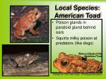 local species american toad