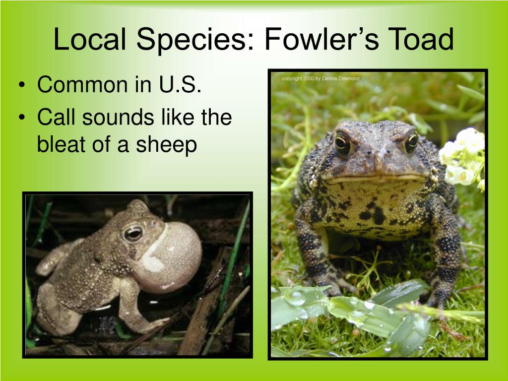 Local Species: Fowler's Toad