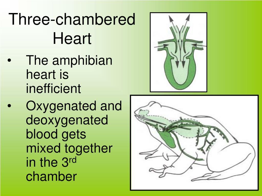 Three-chambered Heart