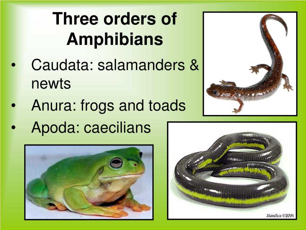 Three orders of Amphibians