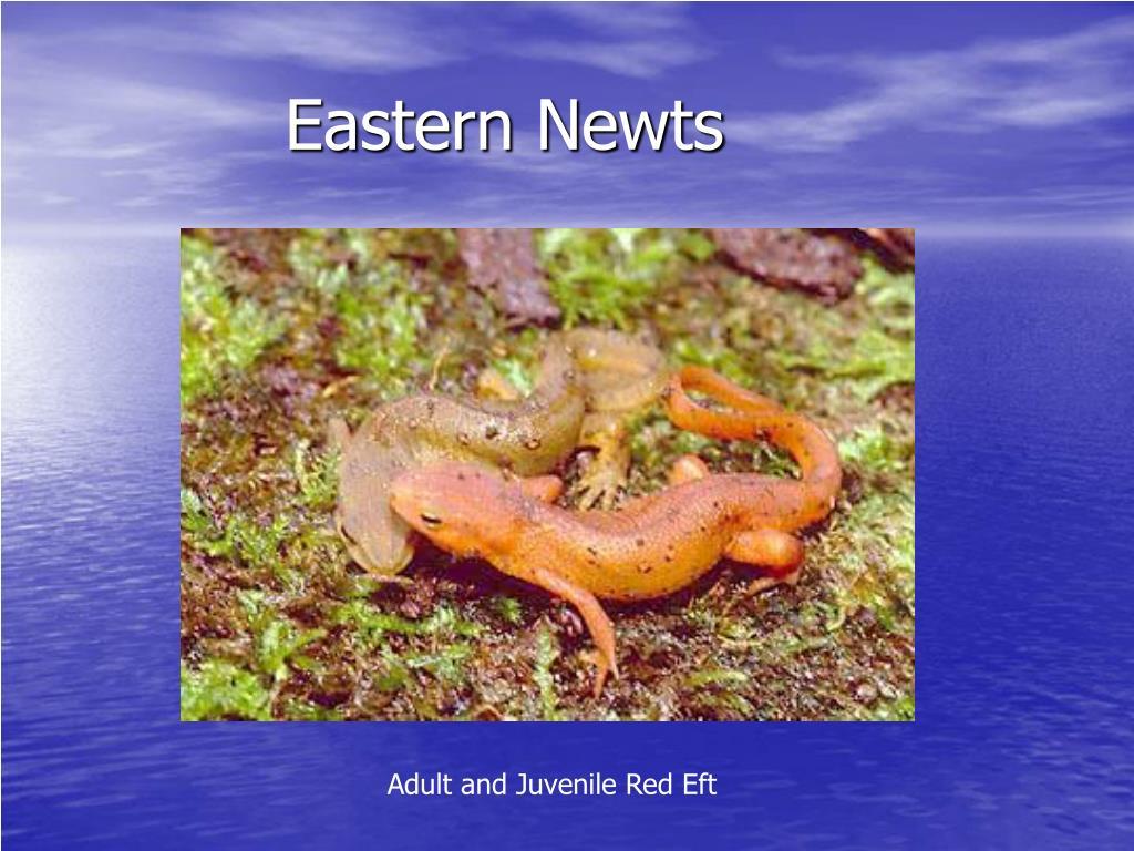 Eastern Newts
