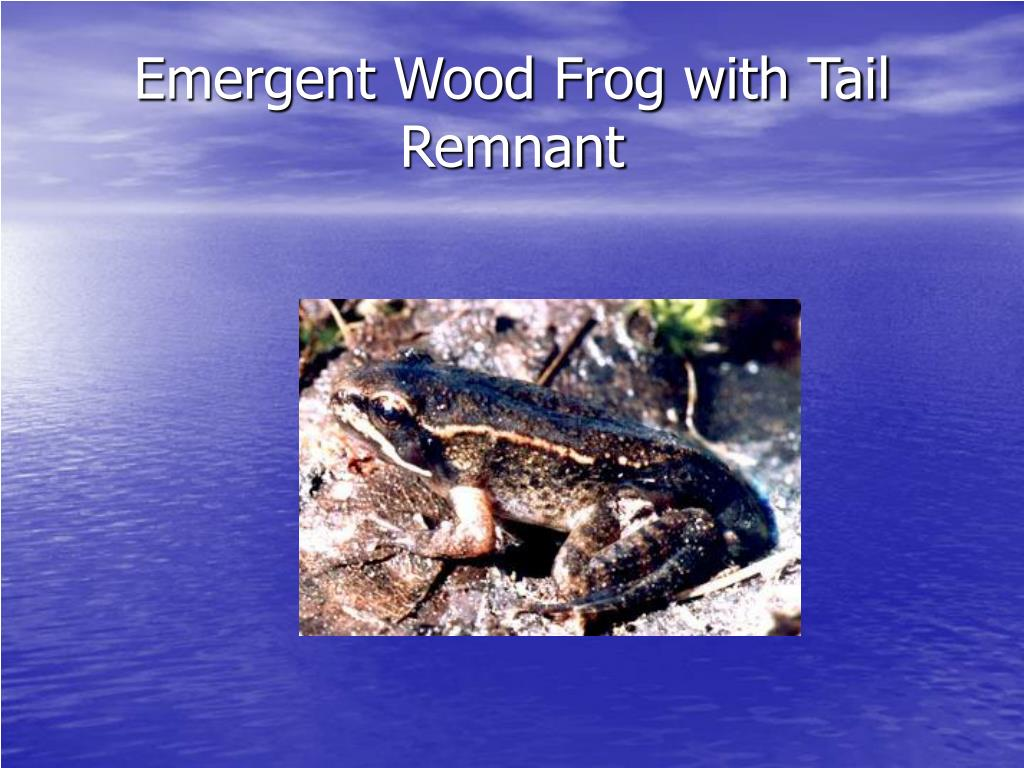 Emergent Wood Frog with Tail Remnant