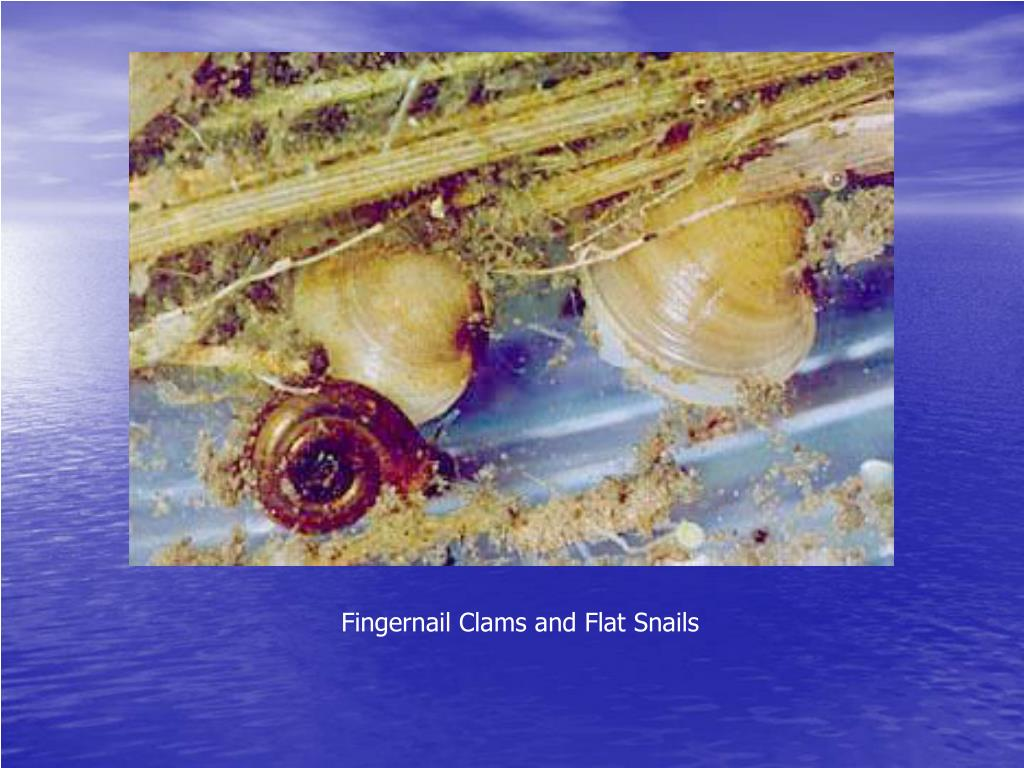 Fingernail Clams and Flat Snails