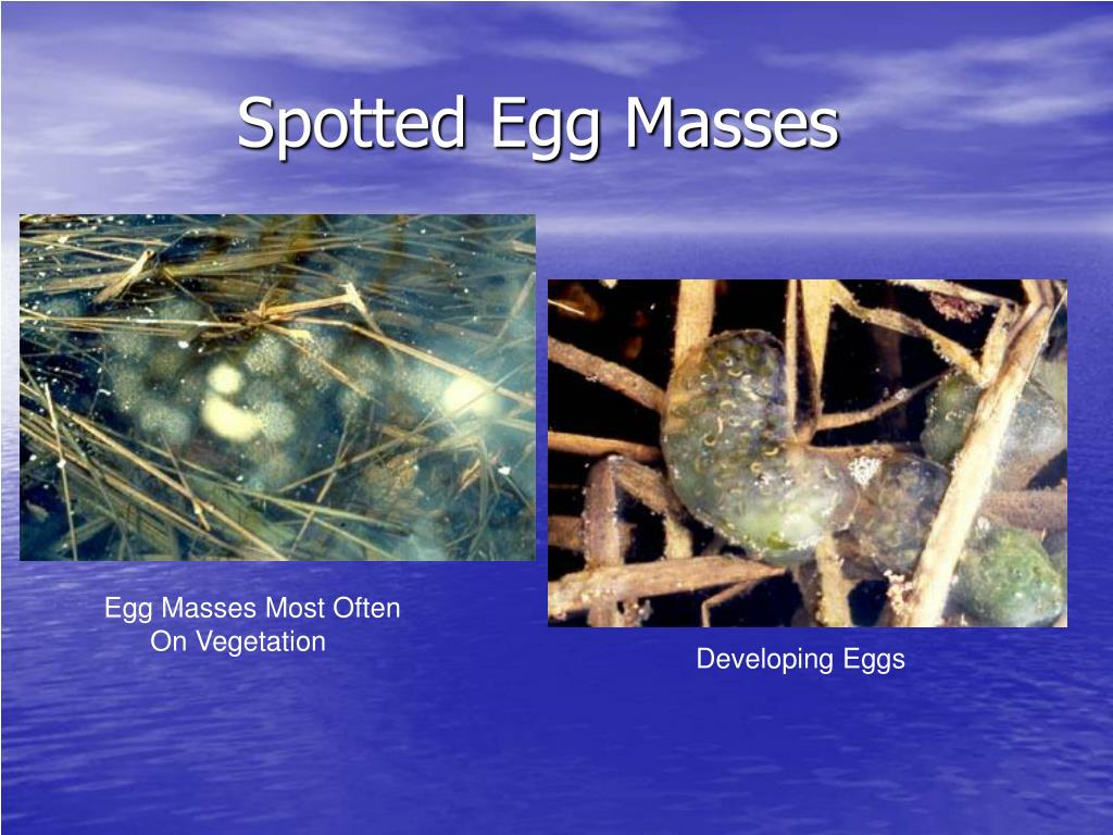 Spotted Egg Masses