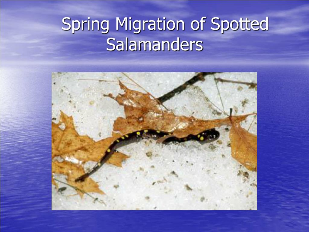 Spring Migration of Spotted                                         Salamanders