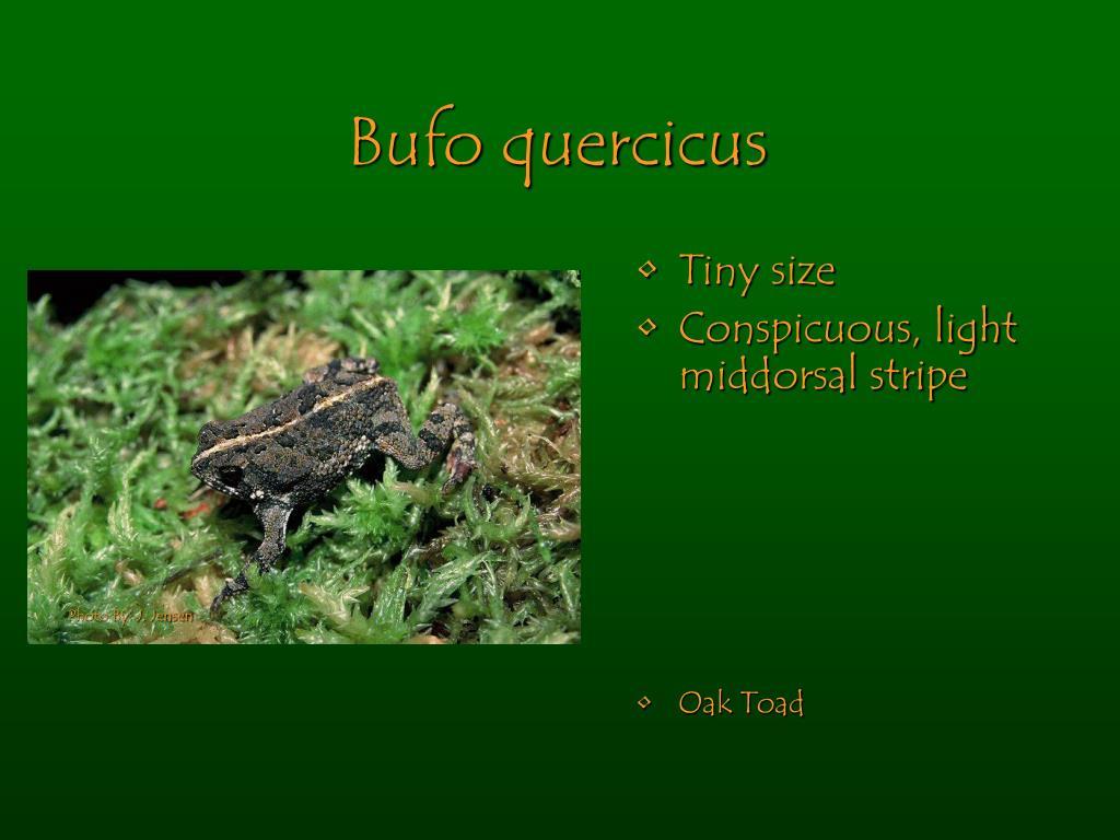 Bufo quercicus