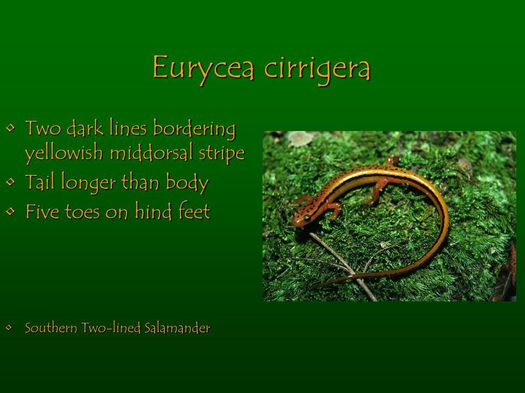 Eurycea cirrigera