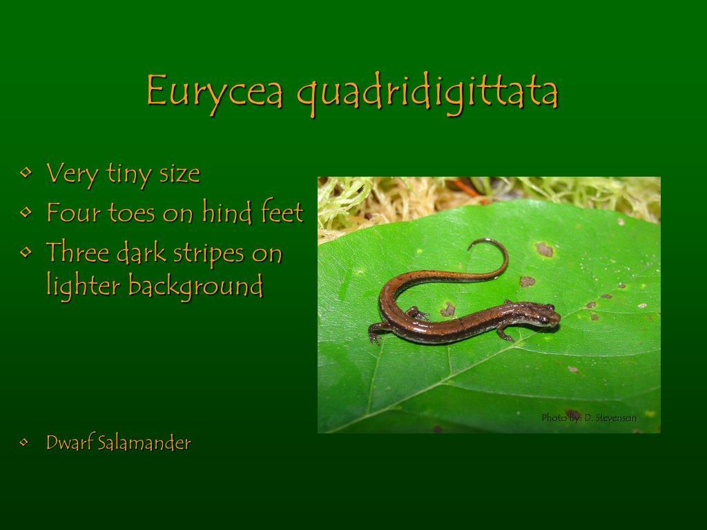 Eurycea quadridigittata