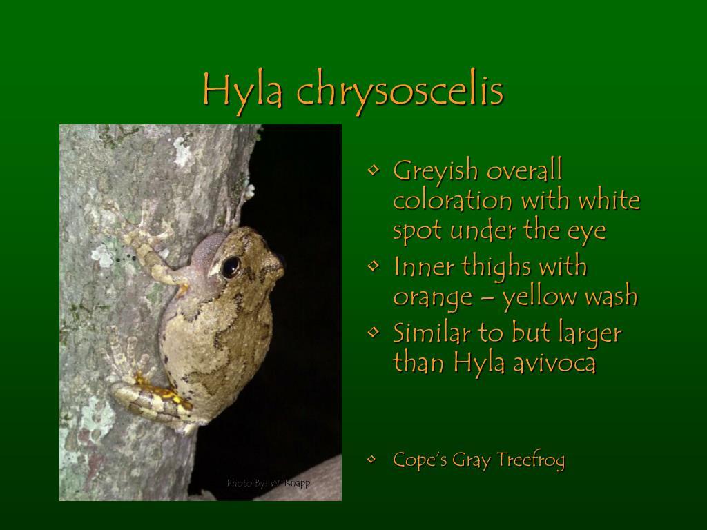 Hyla chrysoscelis