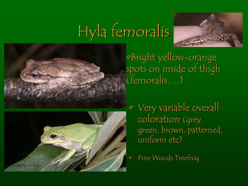 Hyla femoralis