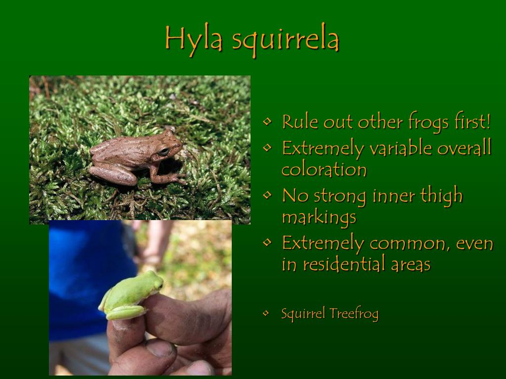 Hyla squirrela