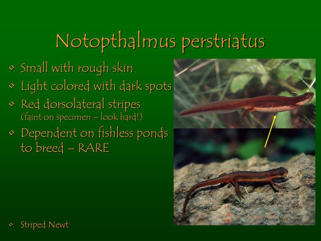 Notopthalmus perstriatus