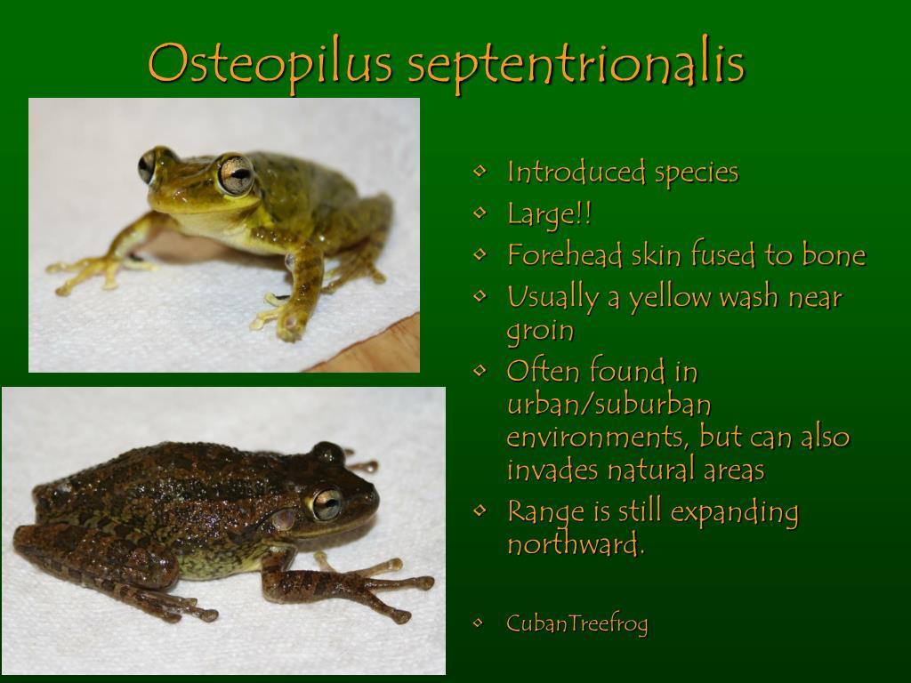 Osteopilus septentrionalis