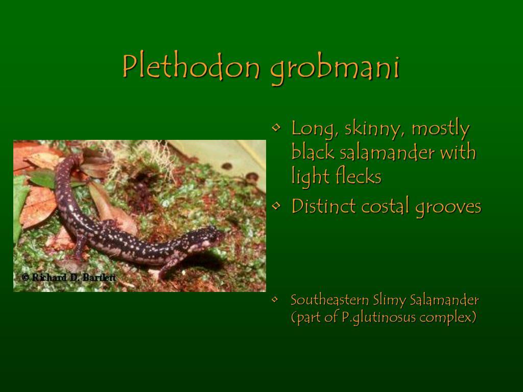 Plethodon grobmani