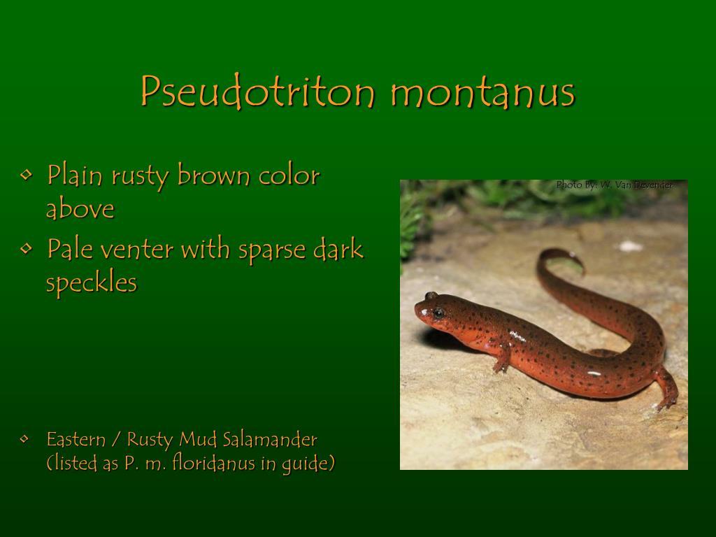 Pseudotriton montanus