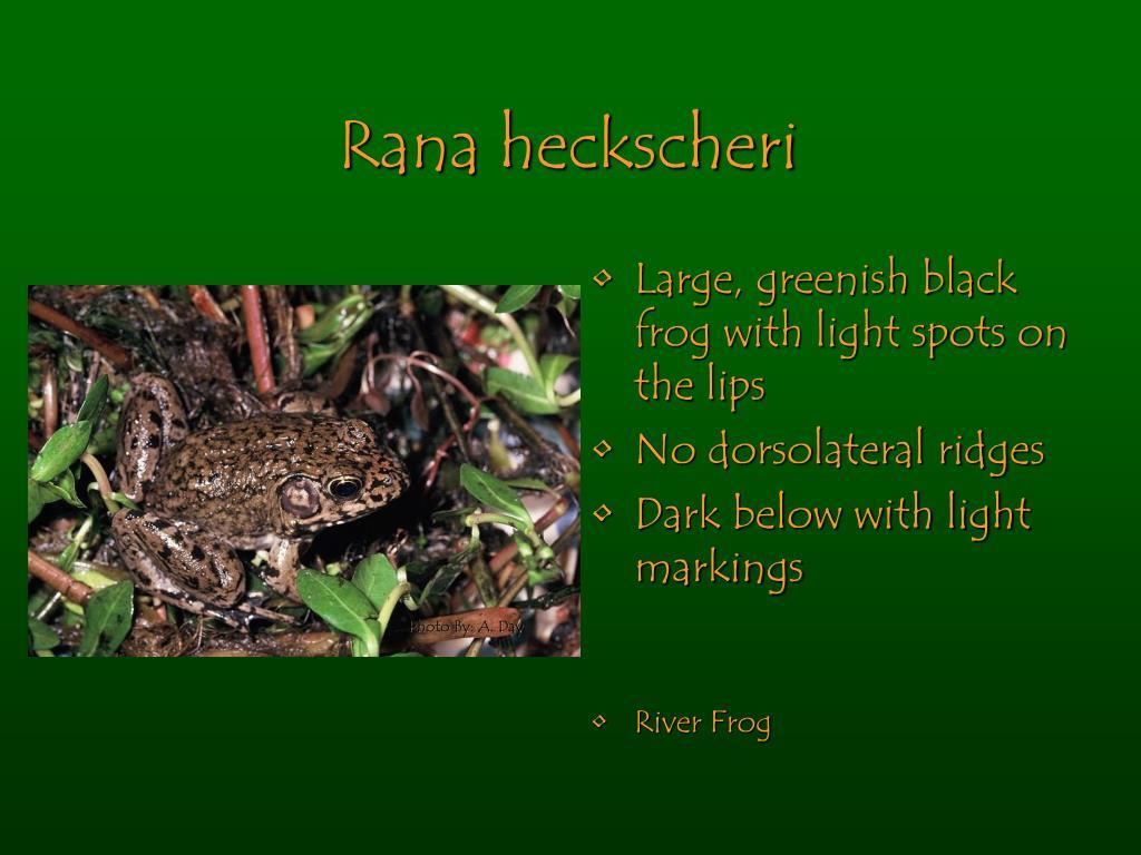 Rana heckscheri