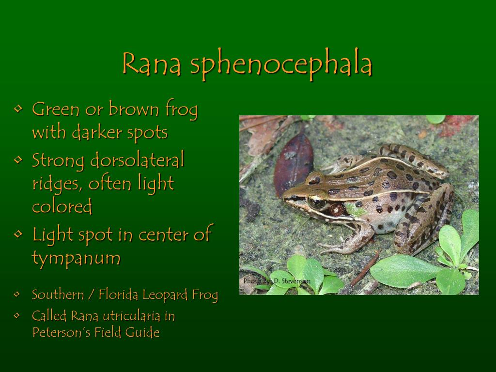Rana sphenocephala