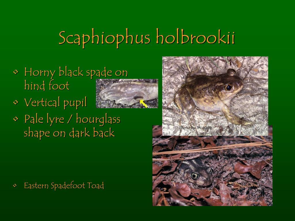 Scaphiophus holbrookii