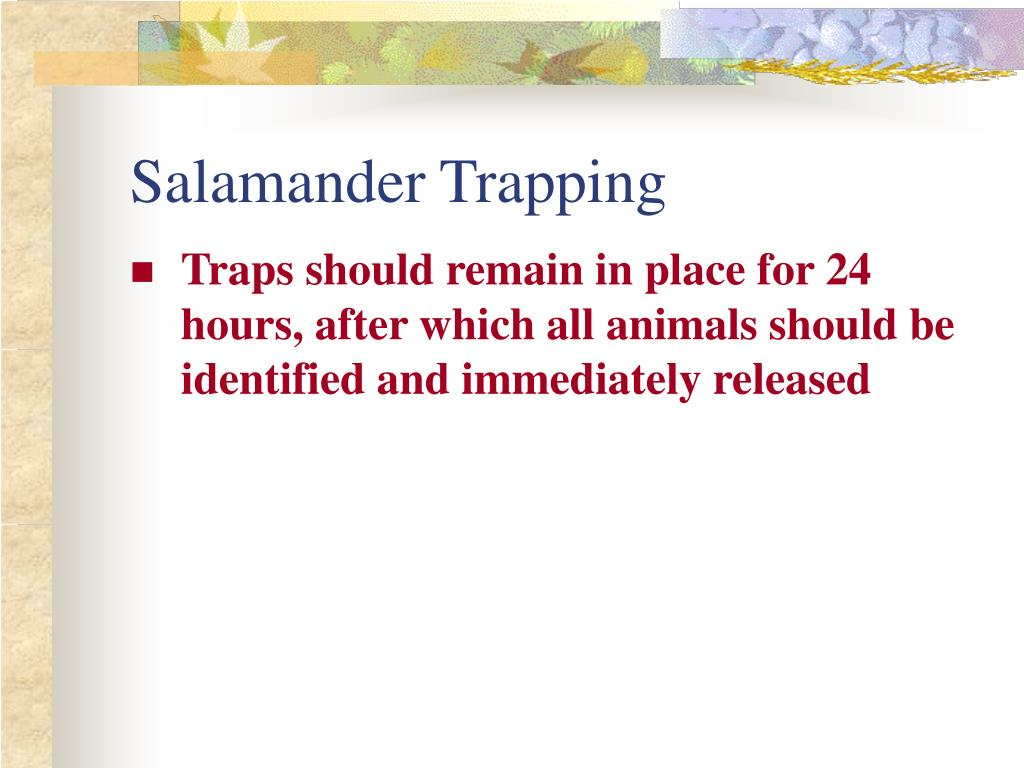 Salamander Trapping