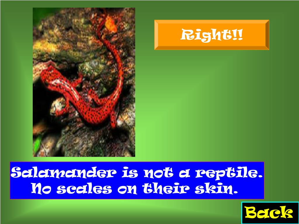 Salamander is not a reptile. No scales on their skin.
