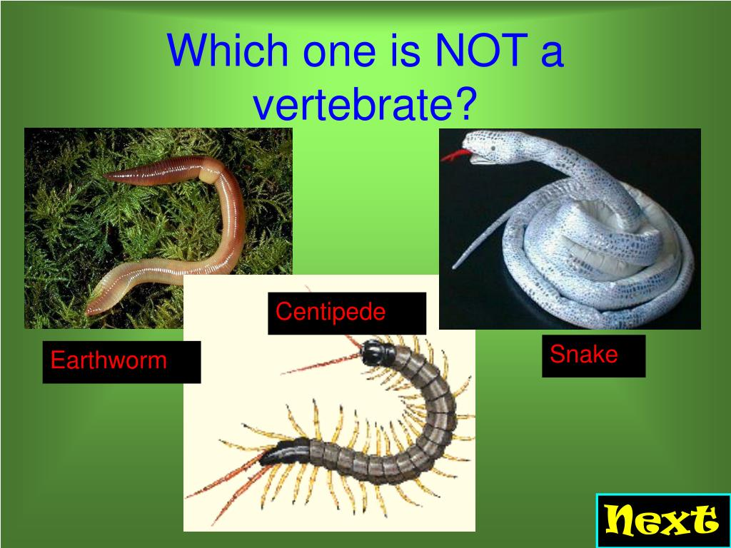 Which one is NOT a vertebrate?