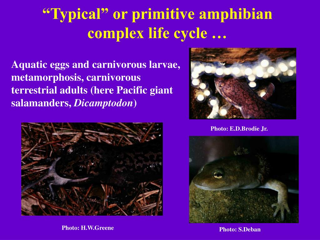 """Typical"" or primitive amphibian complex life cycle …"