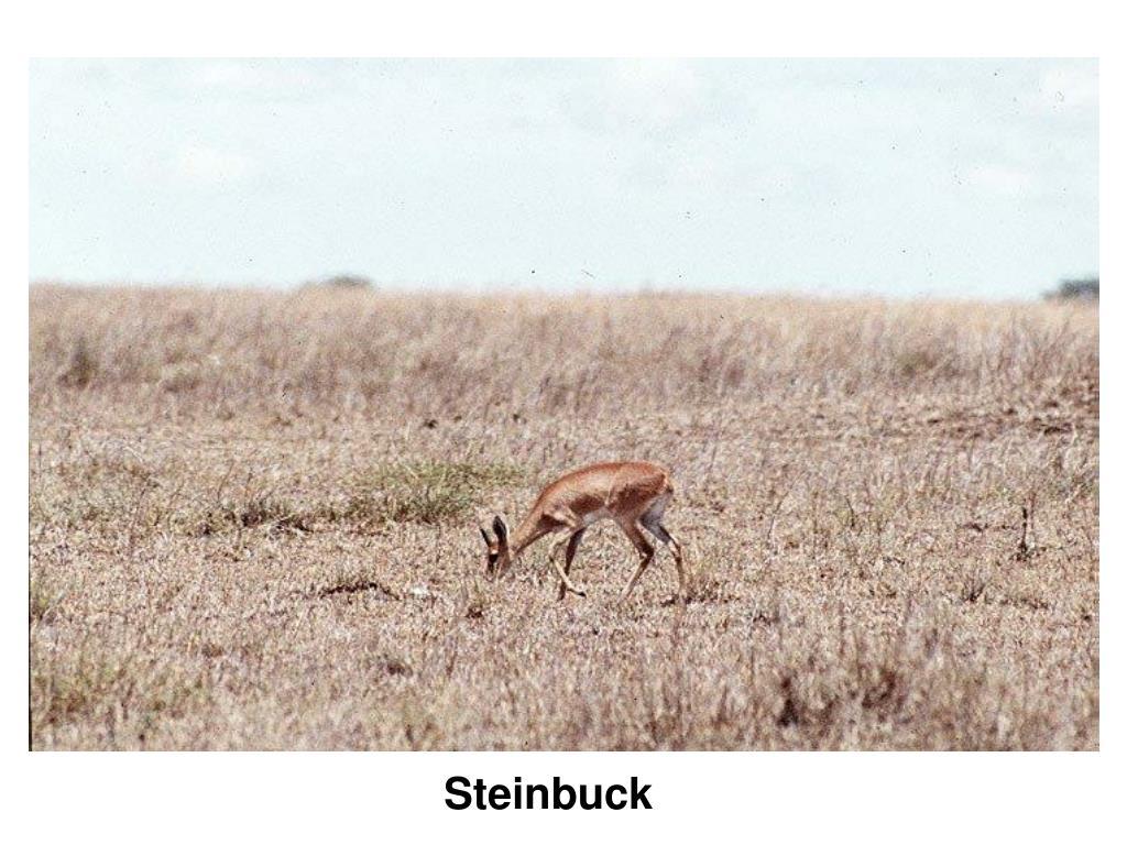 Steinbuck