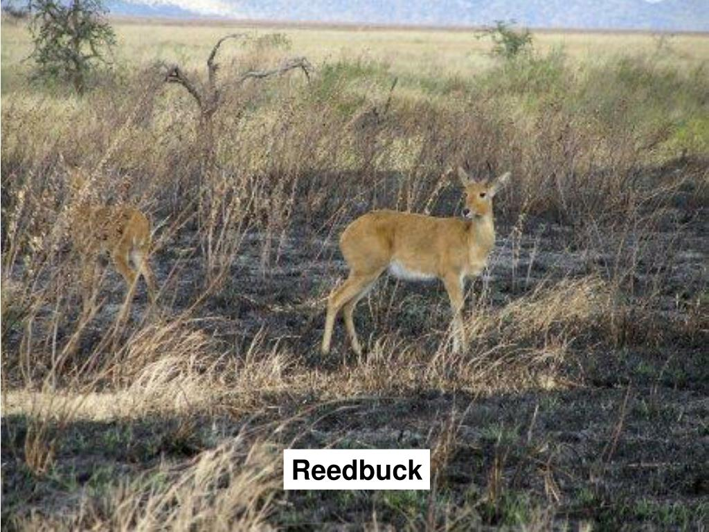 Reedbuck