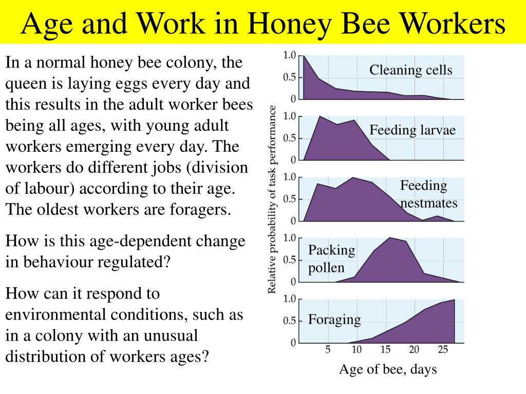 Age and Work in Honey Bee Workers