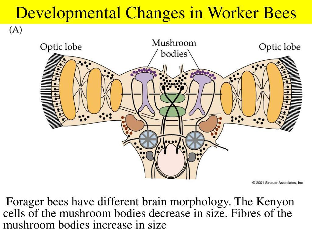 Developmental Changes in Worker Bees