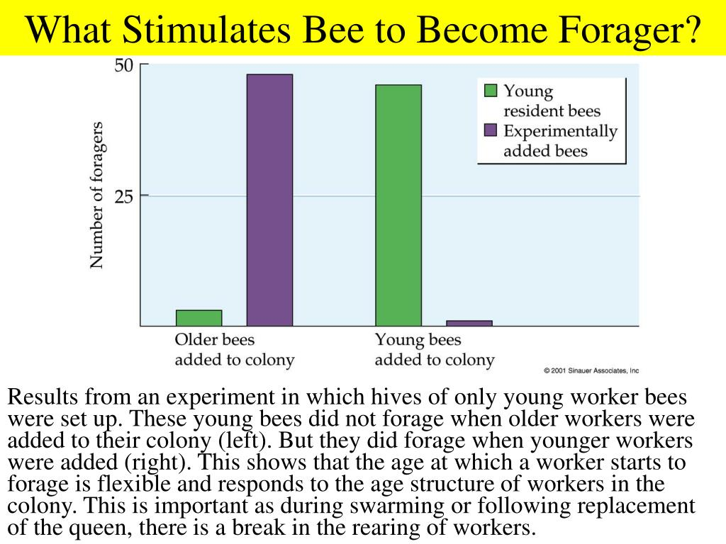 What Stimulates Bee to Become Forager?