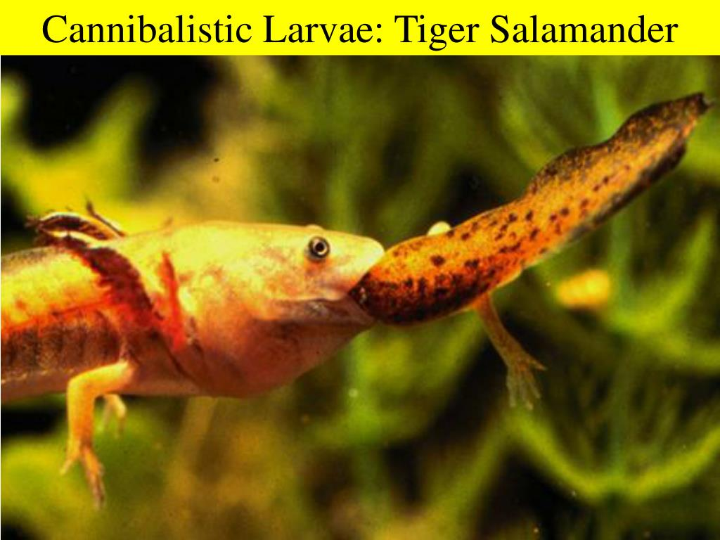 Cannibalistic Larvae: Tiger Salamander
