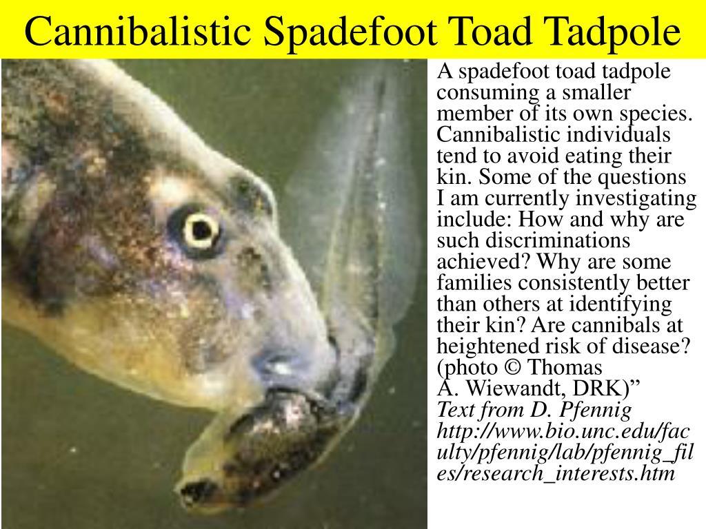 Cannibalistic Spadefoot Toad Tadpole