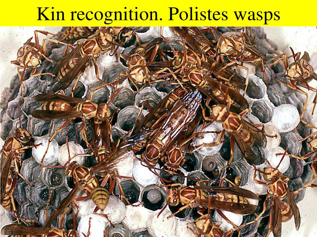 Kin recognition. Polistes wasps