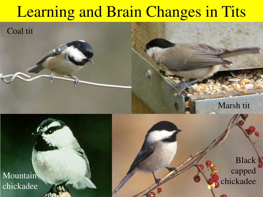 Learning and Brain Changes in Tits