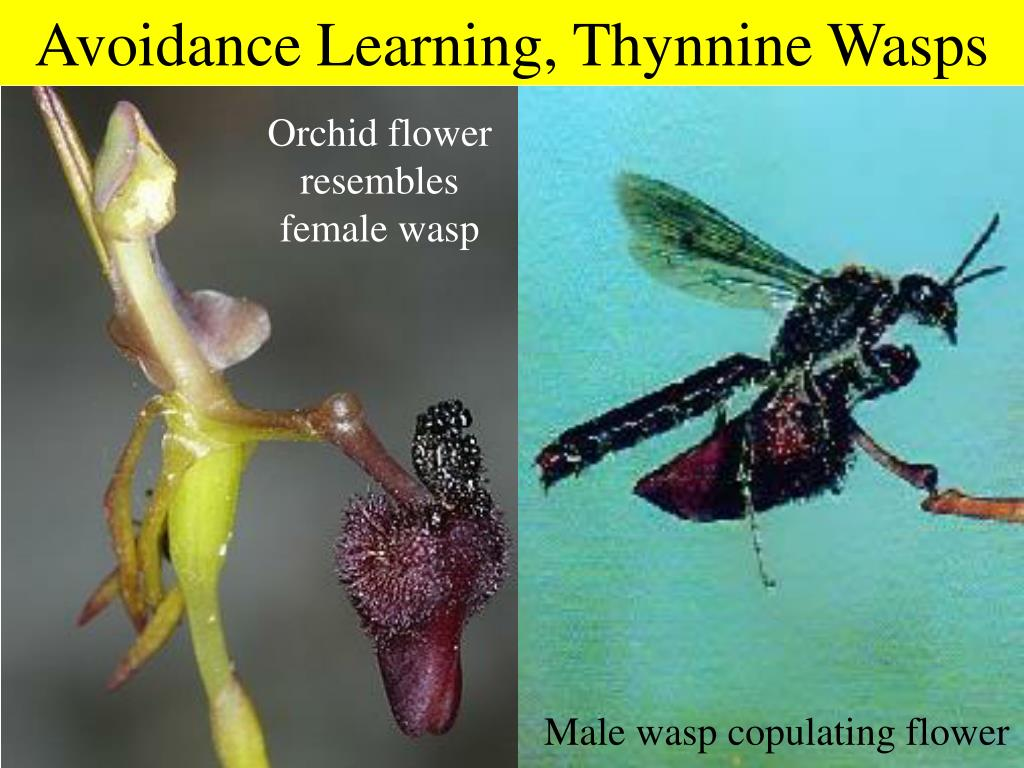 Avoidance Learning, Thynnine Wasps