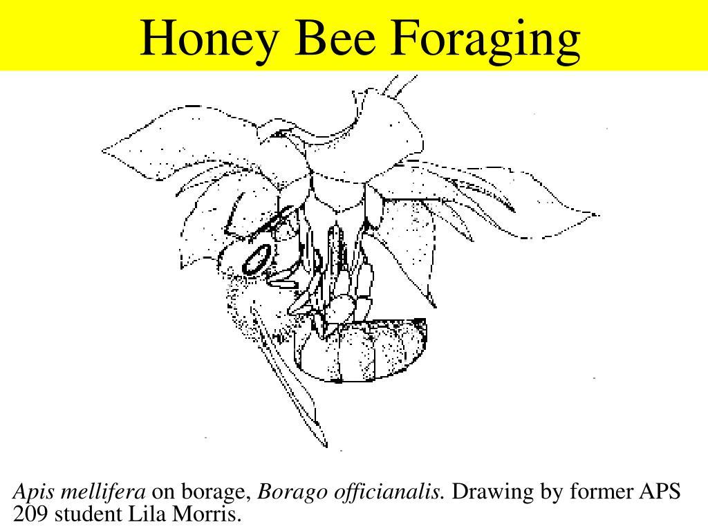 Honey Bee Foraging