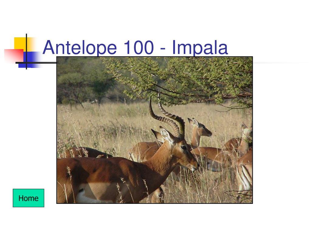 Antelope 100 - Impala
