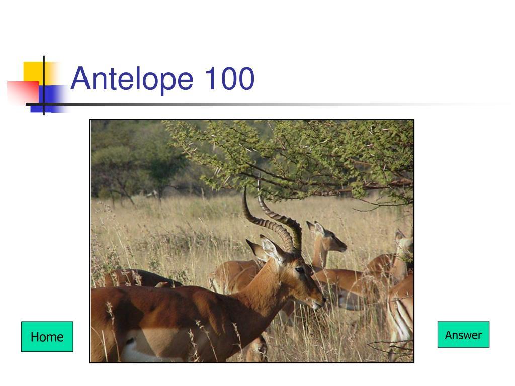 Antelope 100