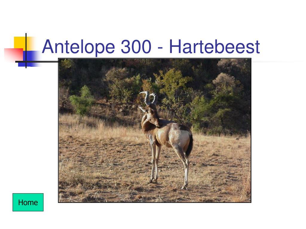 Antelope 300 - Hartebeest