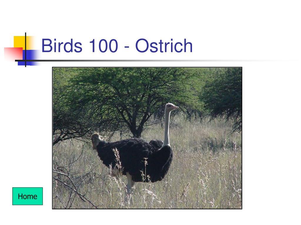 Birds 100 - Ostrich