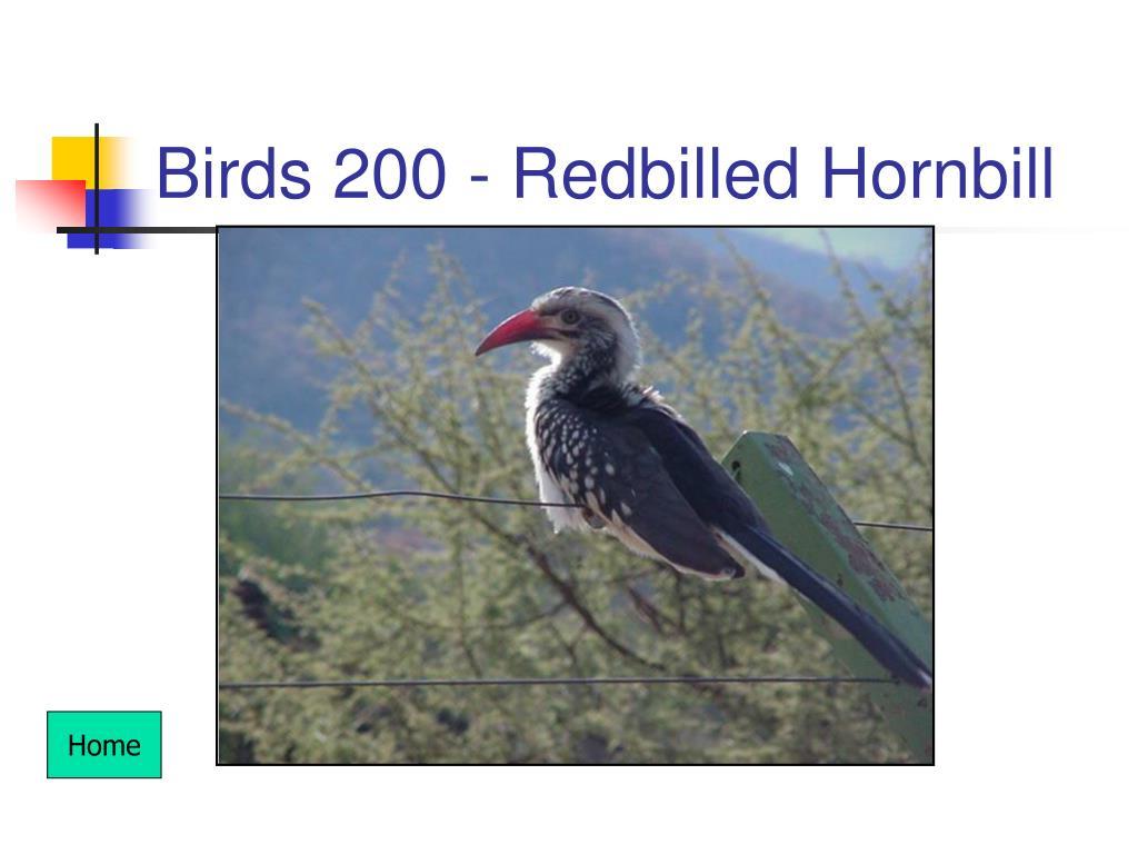 Birds 200 - Redbilled Hornbill