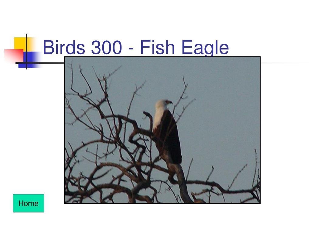 Birds 300 - Fish Eagle
