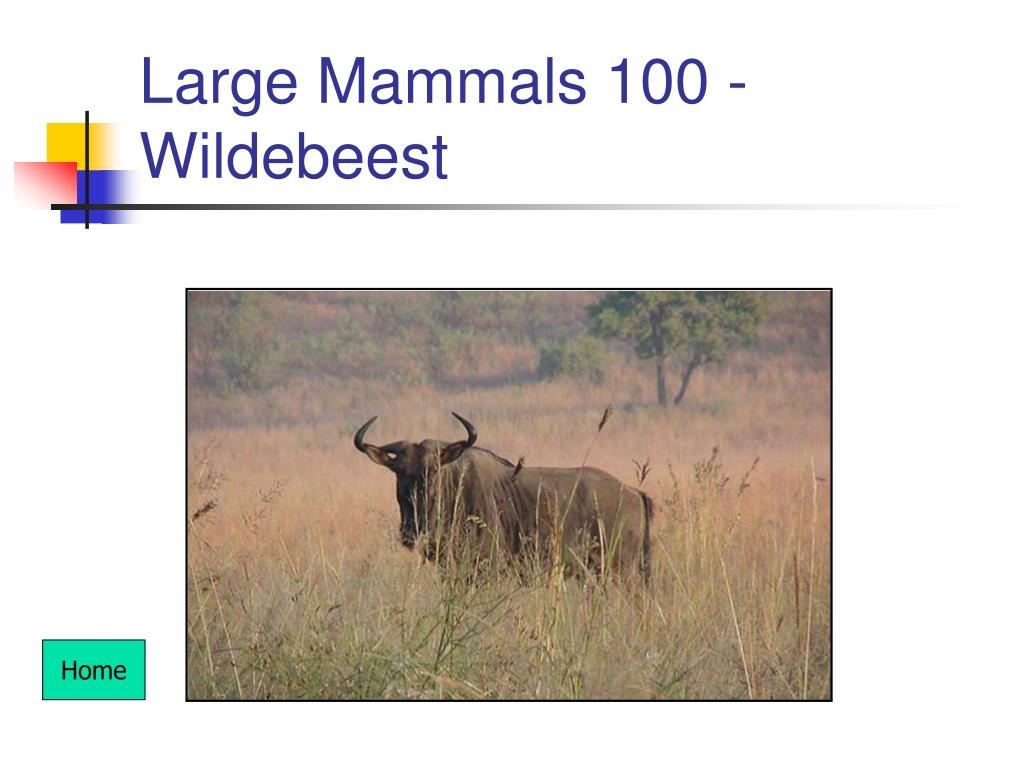 Large Mammals 100 - Wildebeest