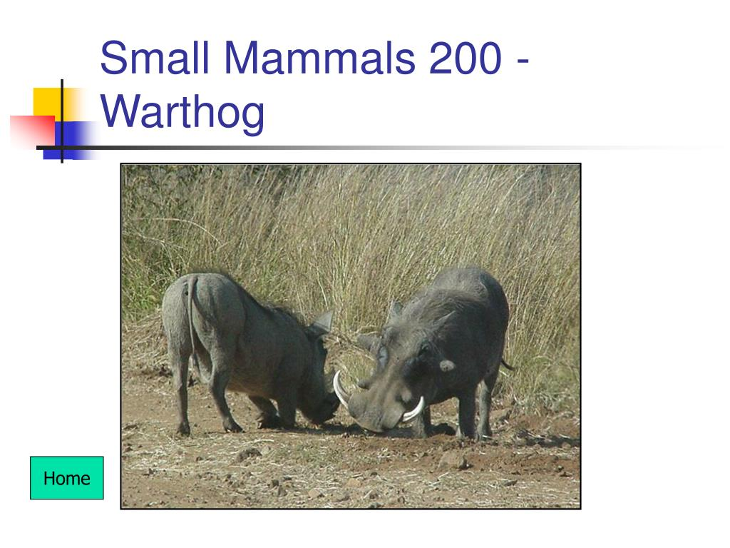 Small Mammals 200 - Warthog