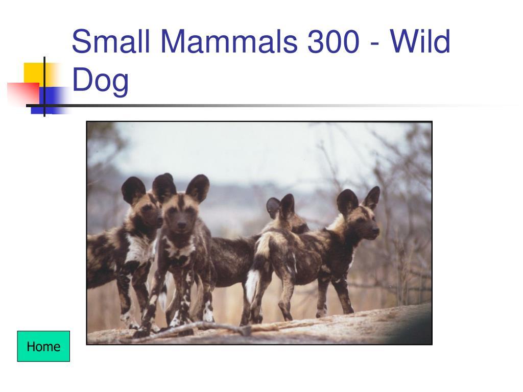 Small Mammals 300 - Wild Dog