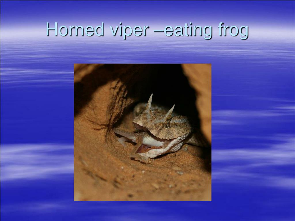Horned viper –eating frog