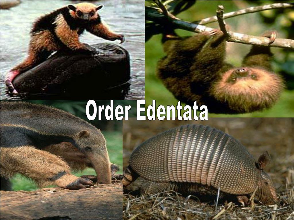 Order Edentata