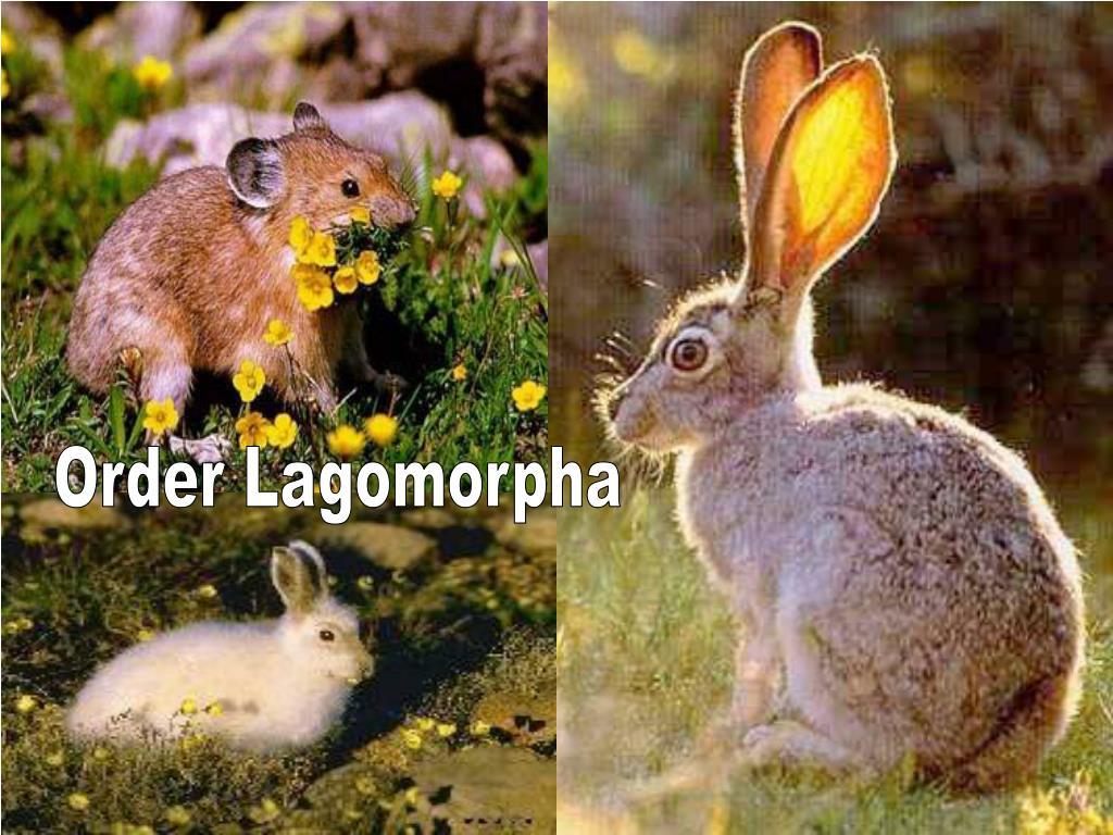 Order Lagomorpha