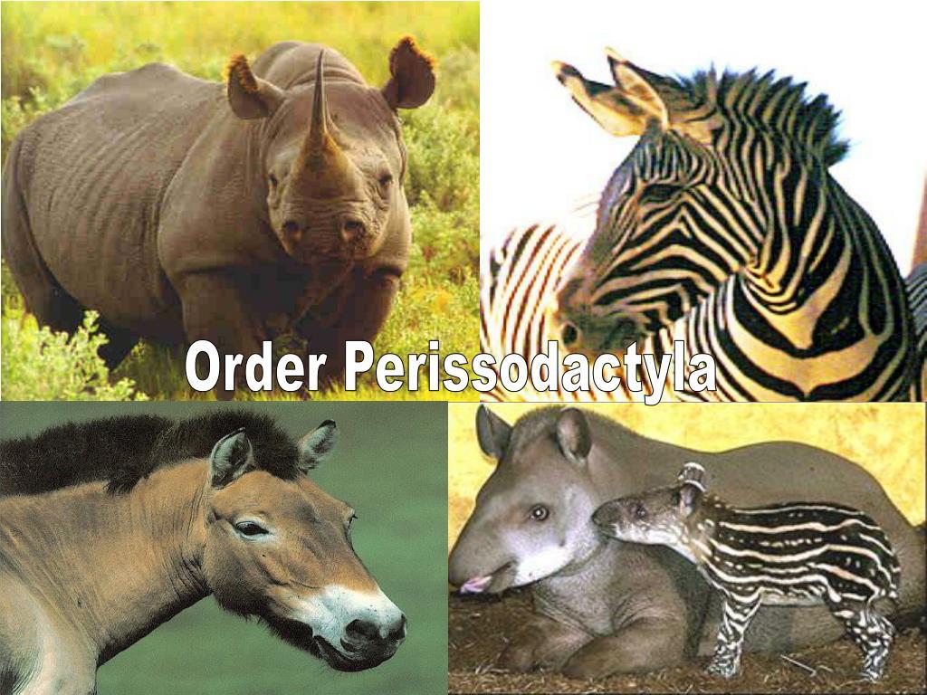 Order Perissodactyla